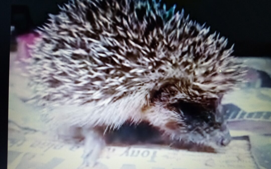 Hedgehogs and Zoom !